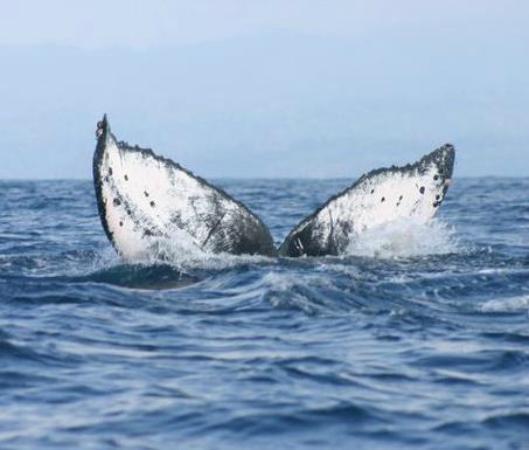Hotel Las Caletas Lodge : Tail of a humpback whale
