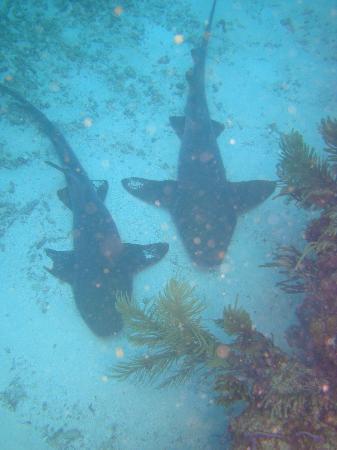 Belize Diving Services: Nurse Sharks