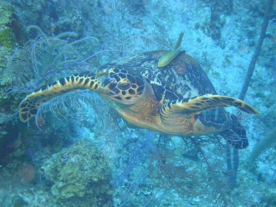 Belize Diving Services: Hawksbill and someone getting a ride