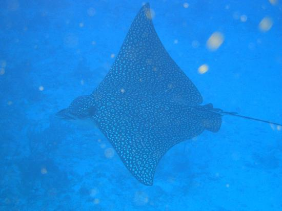 Belize Diving Services: Eagle Ray