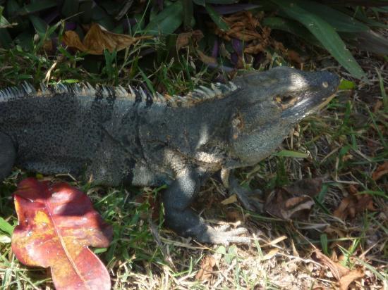 Villas Sol Hotel & Beach Resort: Hermosa iguana paseándose por el hotel..