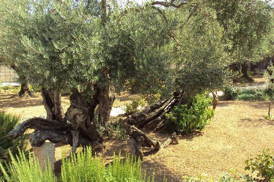Garden of Gethsemane Jerusalem Picture of Garden of Gethsemane
