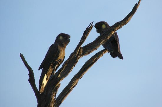 Austiny Bed and Breakfast Accommodation: Yellow Tailed Black Cockatoo
