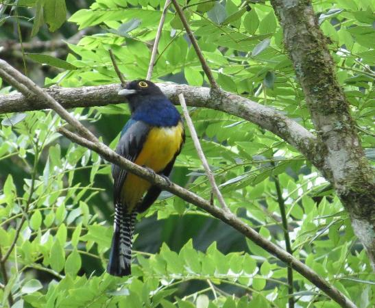 Nature Specialist Tours: Violaceous Trogon at Los Cusingos