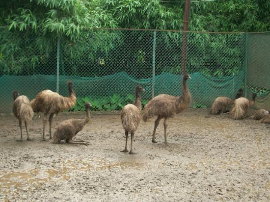 Karnala, Indien: Emu