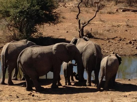 Royal Madikwe Luxury Safari Lodge: Elephantastic at the lodge watering hole.