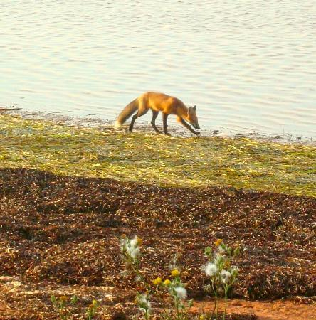 North Rustico Motel Cottages & Inn: Fox scavenging shoreline near the boardwalk