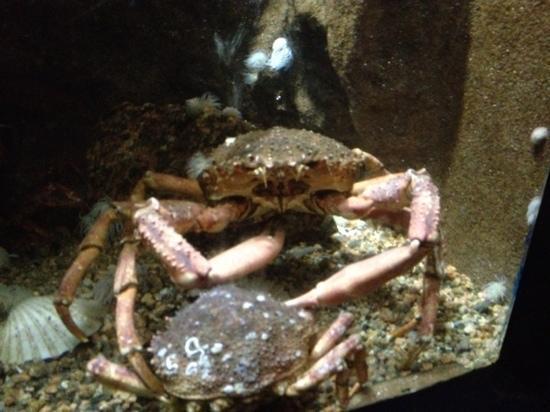 Aquarium Marin De Tregastel: araignée de mer
