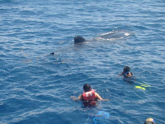 Holbox Whale Shark Tours with Willy's Tours: nadando junto a el