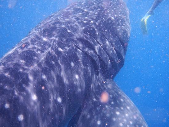 Holbox Whale Shark Tours with Willy's Tours : aqui mas de cerquita