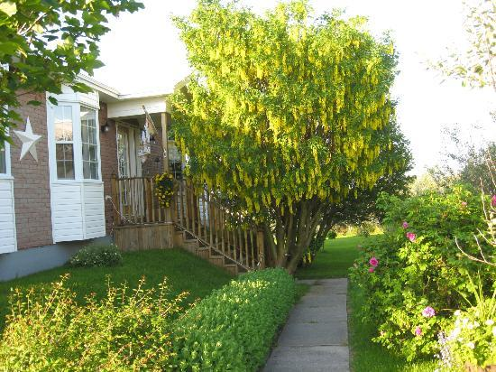 Abbott's Cape Shore Bed and Breakfast: Our golden chain trees.