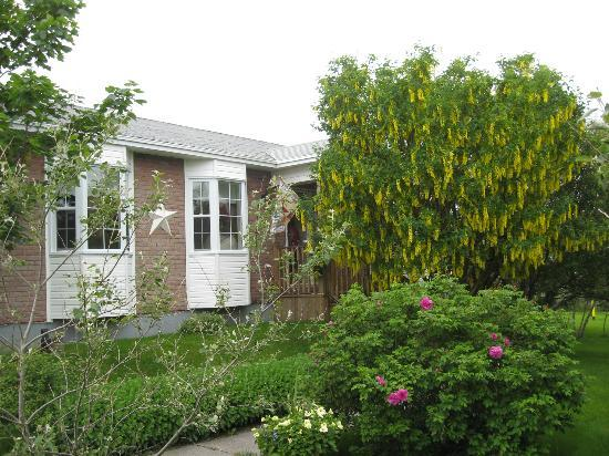 Abbott's Cape Shore Bed and Breakfast: Our golden chain trees in front of our B&B.