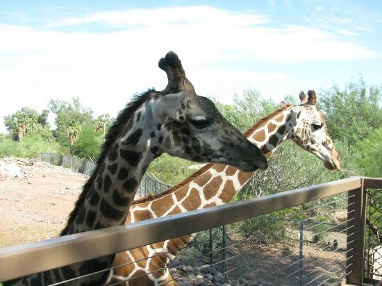 Phoenix Zoo : Feeding the giraffes