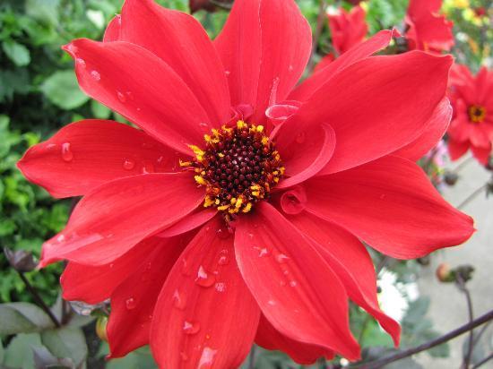 The Butchart Gardens: Dahlia Garden