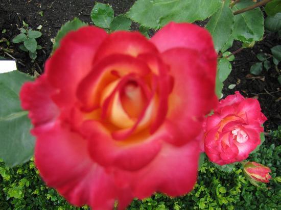Butchart Gardens: Rose Garden