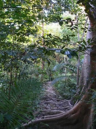Red Mill House in Daintree: Garden path lovely and private, interesting buttress roots