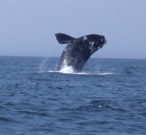 Digby, Kanada: Great siting of juvenile whale while on the Dockside Whale Watching tour.