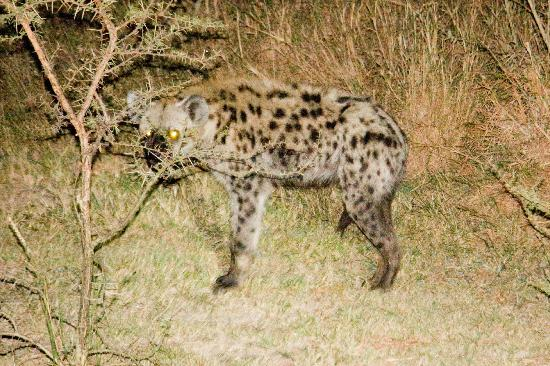 Mpila Camp : Hyena came to check out the braai each night