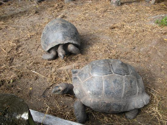 Iles des Palmes: Le tartarughe giganti