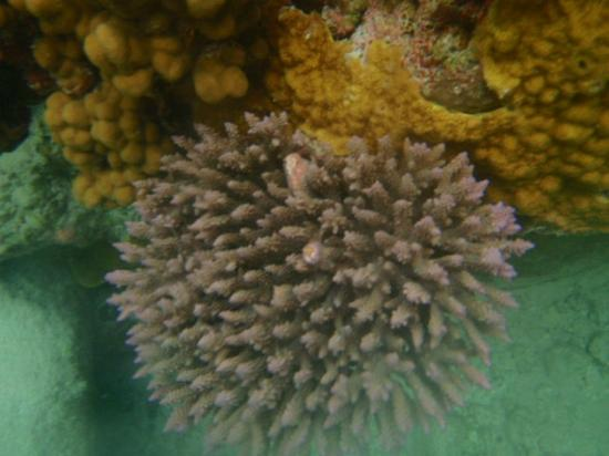 Avaiki Cave: new coral
