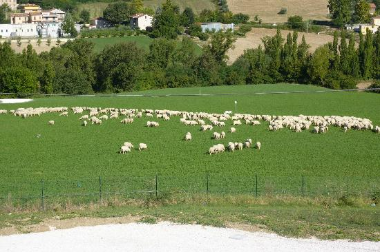 Locanda Montelippo: Morning visit by sheep