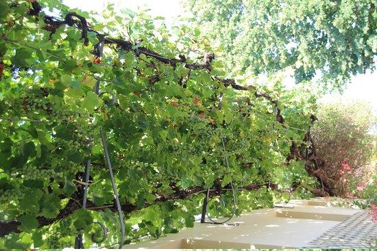 Marignolle Relais & Charme: Grapevine