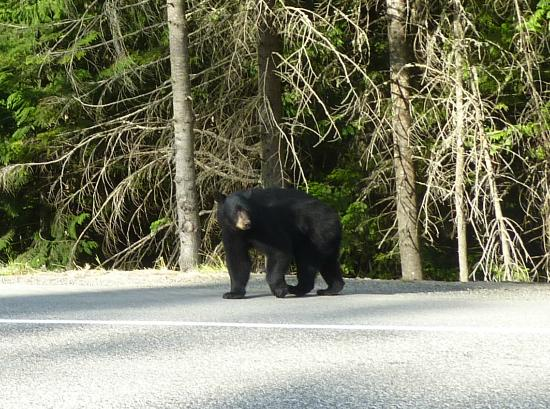 Manning Park Resort: Bear beside road in Manning Park