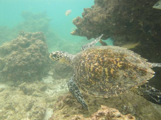 Umm Al Quwain, Emirados Árabes: More turtle action