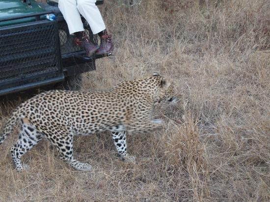 Idube Game Reserve Lodge: leopard walking really close to the jeep