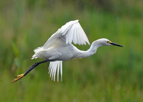 Gordons Pond : Snowy Egret
