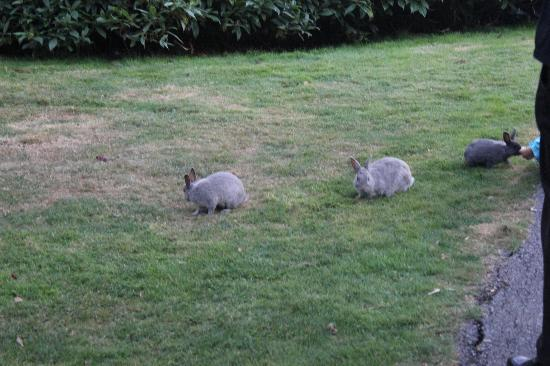 Ramada Limited Vancouver Airport: Some of the many bunnies in Minoru Park behind the hotel