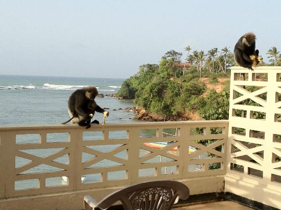 Bay Beach Hotel: Monkeys and bananas