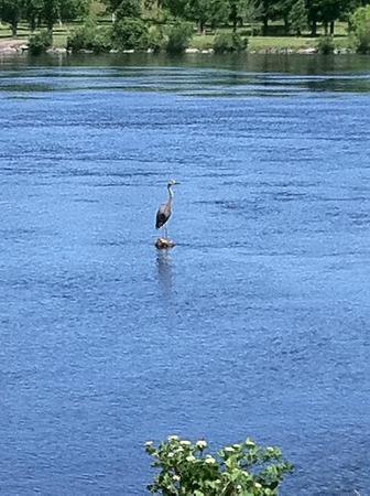 Sir John A. MacDonald Parkway: Blue heron on a rock near Prince of Wales bridge