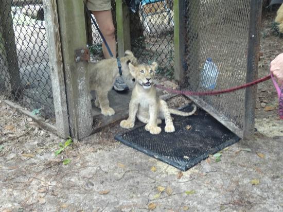 Zooworld Zoological Conservatory Baby Jaguars
