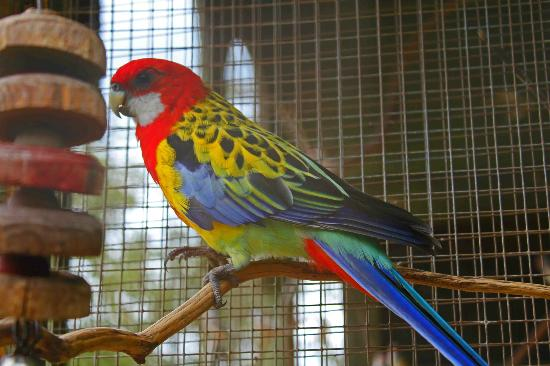 Golden Mantled Rosellas Picture Of Daniel Stowe