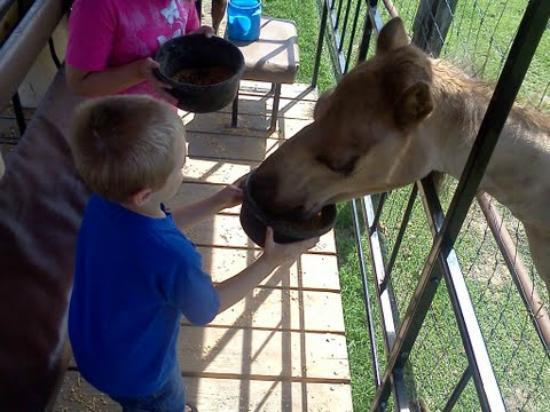Dutch Creek Farm Animal Park: Very friendly camel