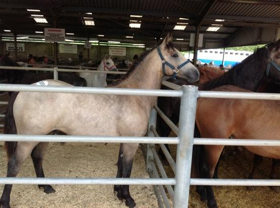Clifden Station House: Connamara ponies for sale