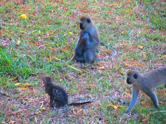 Leopard Beach Resort & Spa: Around the hotel, there were the small monkeys everywhere..