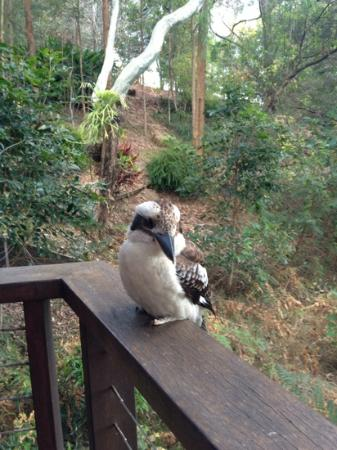 Montville Oceanview Cottages: Kookaburra on the deck