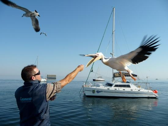 Cornerstone Guesthouse: Marco and the pelicans on dolphin cruise