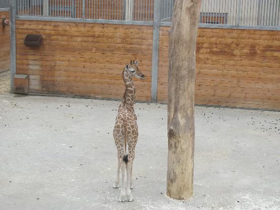 Kronberg im Taunus, Alemania: Giraffenbaby geboren Juli 2012