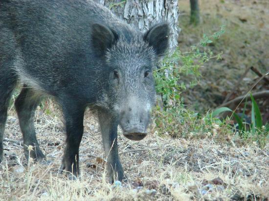 Podere Leccetro: rencontre avec les sangliers