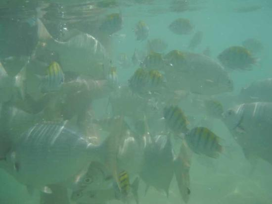 Las Brisas Huatulco: fish at snorkel beach
