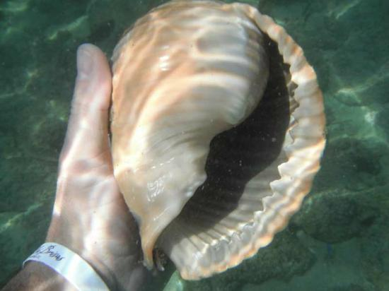 Las Brisas Huatulco: Large shell at secret beach