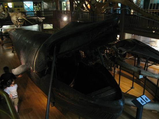 The Natural History Museum: blue whale..