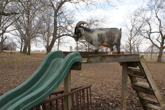 Green Acres Farm Bed and Breakfast: Bully the sliding billy goat