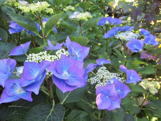 Farmhouse Bed & Breakfast: Lilac hydrangeas