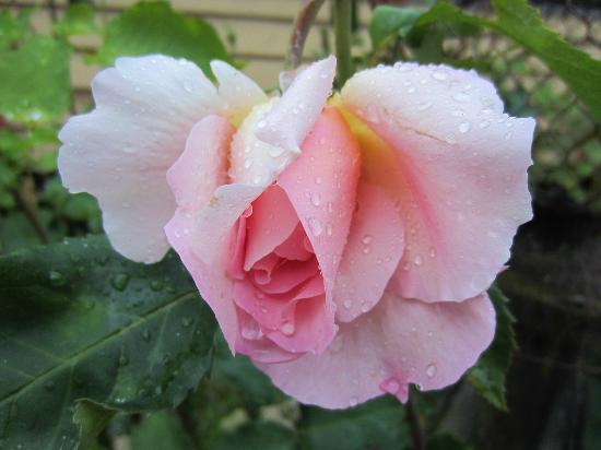 Farmhouse Bed & Breakfast: Raindrops on roses