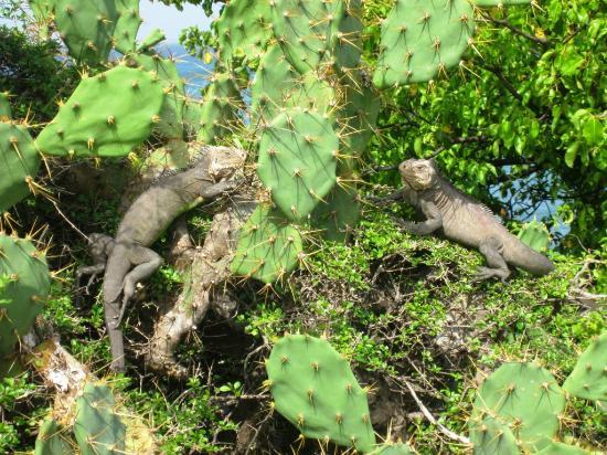 La Desirade - Native Iguanas
