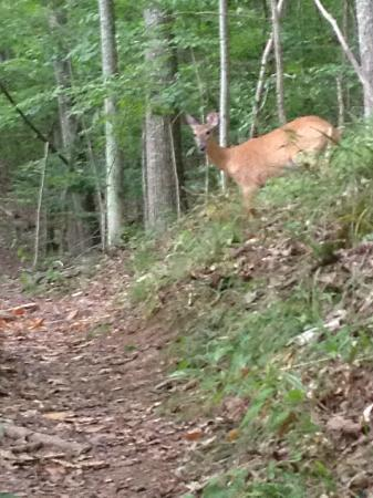 Stonewall Resort: Deer on Chipmunk Trail